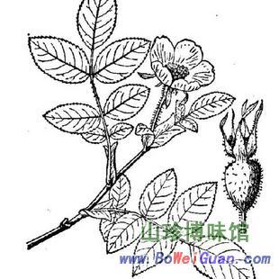 野蔷薇子石珊瑚蔷薇子 山珍博味馆